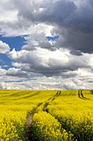 Rapeseed field in Central Bohemia, Czech Republic.