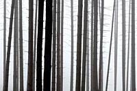 Foggy coniferous forest in Turiec region, Slovakia.