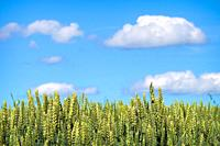 A grain field ripening for harvest under the blue sky.