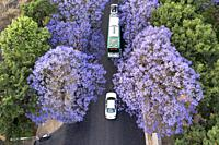 Aerial view of Jacaranda trees in bloom in Kunming, Yunnan capital in China.