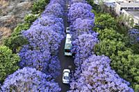 Aerial view of Jacaranda trees in bloom in Kunming, Yunnan capital in China.
