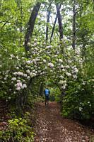 Hiker on trail with Mountain Laurel (Kalmia latifolia) in bloom - Pisgah National Forest, Brevard, North Carolina, USA.