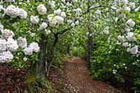 Mountain Laurel (Kalmia latifolia) in bloom on trail in Pisgah National Forest, Brevard, North Carolina, USA.