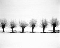 Poland Winter. Willow trees