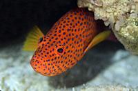 Red Coral Grouper (Cephalopholis miniata), Pulau Molana dive site, near Ambon, Maluku, Indonesia, Banda Sea.