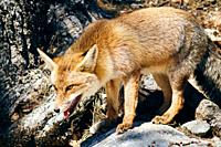 Red Fox (Vulpes vulpes) in Sierra de Cazorla, Andalusia, Spain.