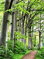 Beech trees (Fagus sylvatica) at a path in Ystad, Scania, Sweden, Scandinavia.