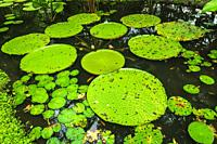 Lilly pads in the Ginger Garden at Singapore Botanic Gardens, Singapore, Republic of Singapore.