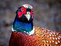 Male pheasant (Phasianus colchicus) in South Lanarkshire, Scotland.