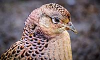 Female pheasant (Phasianus colchicus) in South Lanarkshire, Scotland.