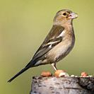 A female Chaffinch (Fringilla coelebs) in the uk.