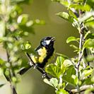 A Great Tit (Parus major) singing in the Uk.