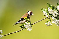 A Goldfinch (Carduelis carduelis) in the Uk.