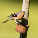 A male Chaffinch (Fringilla coelebs) in the uk.