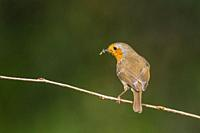 A Robin (Erithacus rubecula) in the Uk.