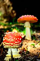 Red mushrooms (Amanita muscaria) in a wood of Celeiron, Castro Caldelas, Orense, Spain.