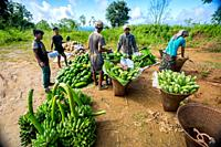 "Bangladesh â. "" October 12, 2019: The hill tribal laborers are storing fresh vegetables from the fields and packaging them to send to the market at Ba..."