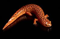 Red Salamander (Pseudotriton ruber) [Wild - Controlled Specimen] - Penrose, near Brevard, North Carolina, USA.