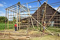 Building a barn for drying tobacco leaves. In the background drying tobacco leaves and tobacco cultivation. Pinar del Río province, Cuba.