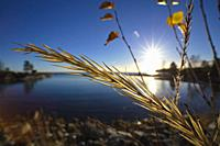 Close up of a golden grass seed head in front of a glassy ocean bay on a bright day in autumn.