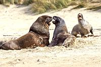 New Zealand Sea Lion -Phocarctos hooken -, Cannibal bay, South Island, New Zealand.