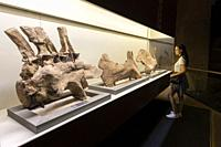 Kunming, China - May 17, 2020: Young woman standing in front of a Dinosaur fossil in Lufeng Dinosaur Valley Museum in Yunnan.