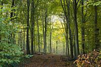 A beech woodland in autumn at Wrington Warren, North Somerset, England.