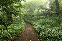 A pathway through Ramsons (Allium ursinum) or Wild Garlic in flower in Mendip Lodge Woods in the Mendip Hills Area of Outstanding Natural Beauty, Nort...