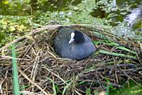 coot on nest, Groene Hart, Holland