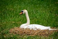 swan at nest in Grone Hart, Holland