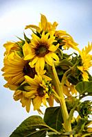 Multiple sunflowers on a stem.