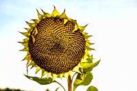 A single mature sunflower head against a white sky.