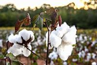 Mature cotton plants before picking, Alabama, USA.