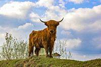 Young highland cattle look curiously.
