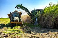 Harvesting sugar cane in southern Louisianna.