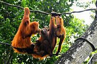 Orangutan (Pongo pygmaeus) in captivity,Singapore,Asia.