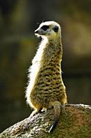 Meerkat,suricata suricatta,Singapore Zoo,Asia.