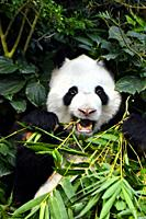 Panda in a zoo in Singapore.