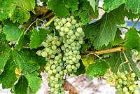 Close up of bunch of white wine grapes Sauvignon blanc on the vine.