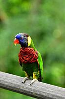 Rainbow lorikeets,Trichoglossus haematodus,Singapore Bird park,Asia.