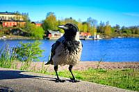 Hooded Crow, Corvus cornix, perched close up on embankment within beautiful seaside scenery on a sunny spring morning, with blue sea and sky.