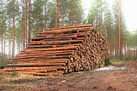 Very large pile of pine logs on a logging site in pine forest in early spring with fog around treetops. Finland. March 2020.