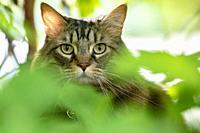 Close-up of domestic cat peeking through green leaves - Brevard, North Carolina, USA.
