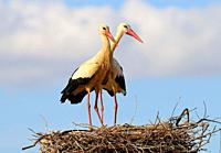 Pair of White storks in the nest (Ciconia ciconia) Olivenza. Badajoz province. Extremadura. Spain