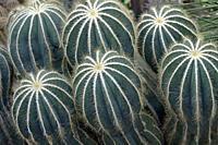 Ball cactus (Parodia magnifica). Called Balloon cactus also.