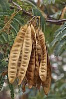 Silktree (Albizia julibrissin). Called Mimosa, Persian Acacia, Persian Silk Tree, Pink Silk Tree, Lenkoran acacia and Bastard tamarind also.