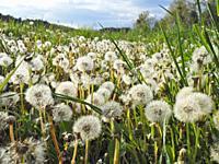 Dandelion seeds (Taraxacum officinale). Santa Eulàlia village countryside. Lluçanès region, Barcelona province, Catalonia, Spain.