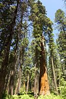 Forest of Sequoias tree in Big Tree national Park.