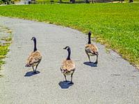 Three Canada Geese (Branta canadensis), .
