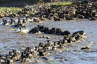 Blue wildebeest or common wildebeest, white-bearded wildebeest or brindled gnu (Connochaetes taurinus) crossing the Mara River. Serengeti National Par...